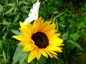 sun-flower-1727366__340