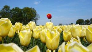 tulips-2580116__340