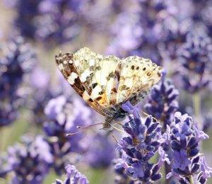 lavender-2426258__340